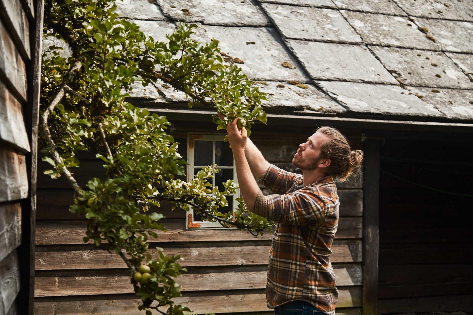 Ein Apfelbauer inspiziert Äpfel und Bäume zwischen Häusern in Agatunet in Hardanger, Norwegen