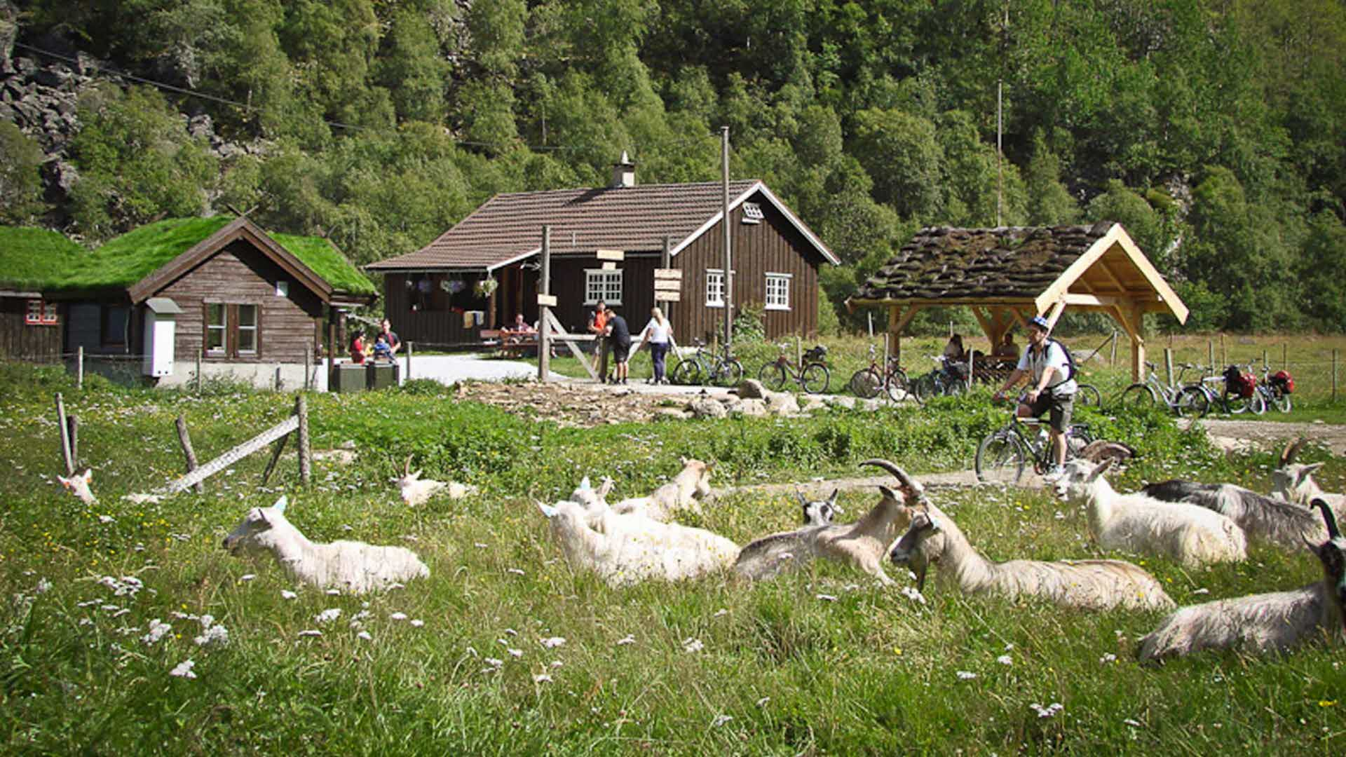 Rallarosa Stølsysteri in Flåmsdalen, people and goats having fun outside