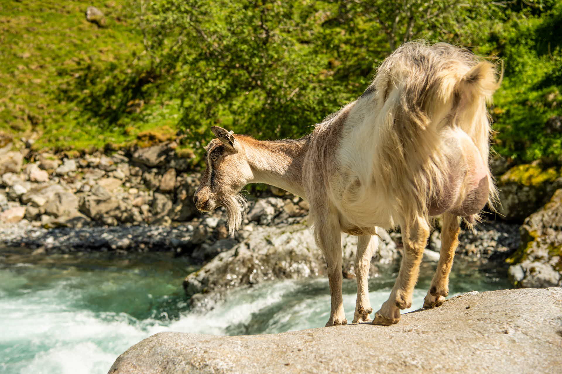 A goat standing on a rock above the river in Undredal