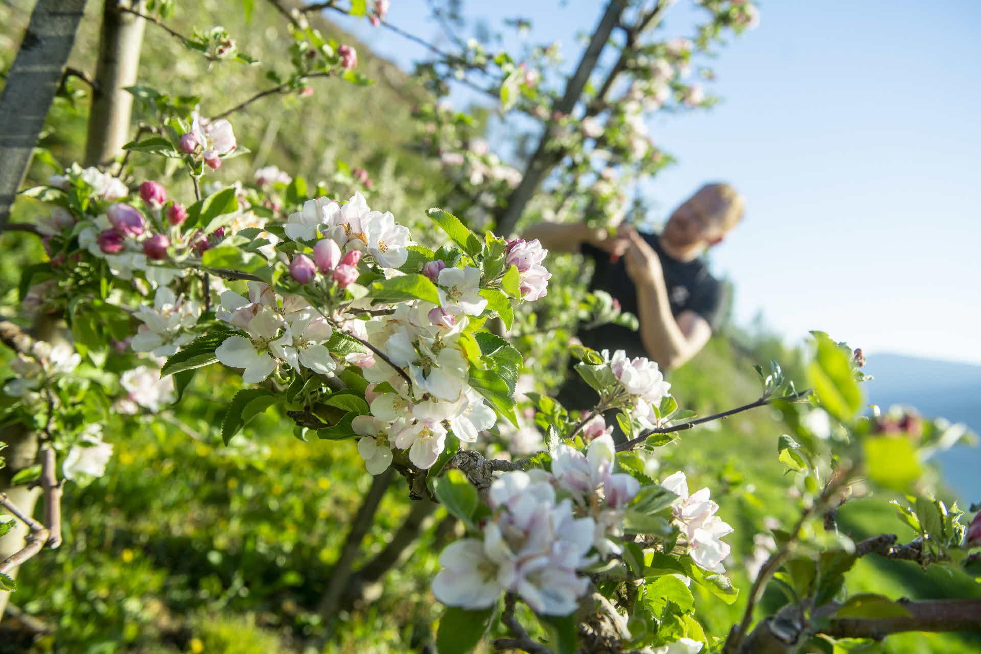 Ein Apfelbauer beschneidet blühende Apfelbäume, im Hintergrund der Hardangerfjord