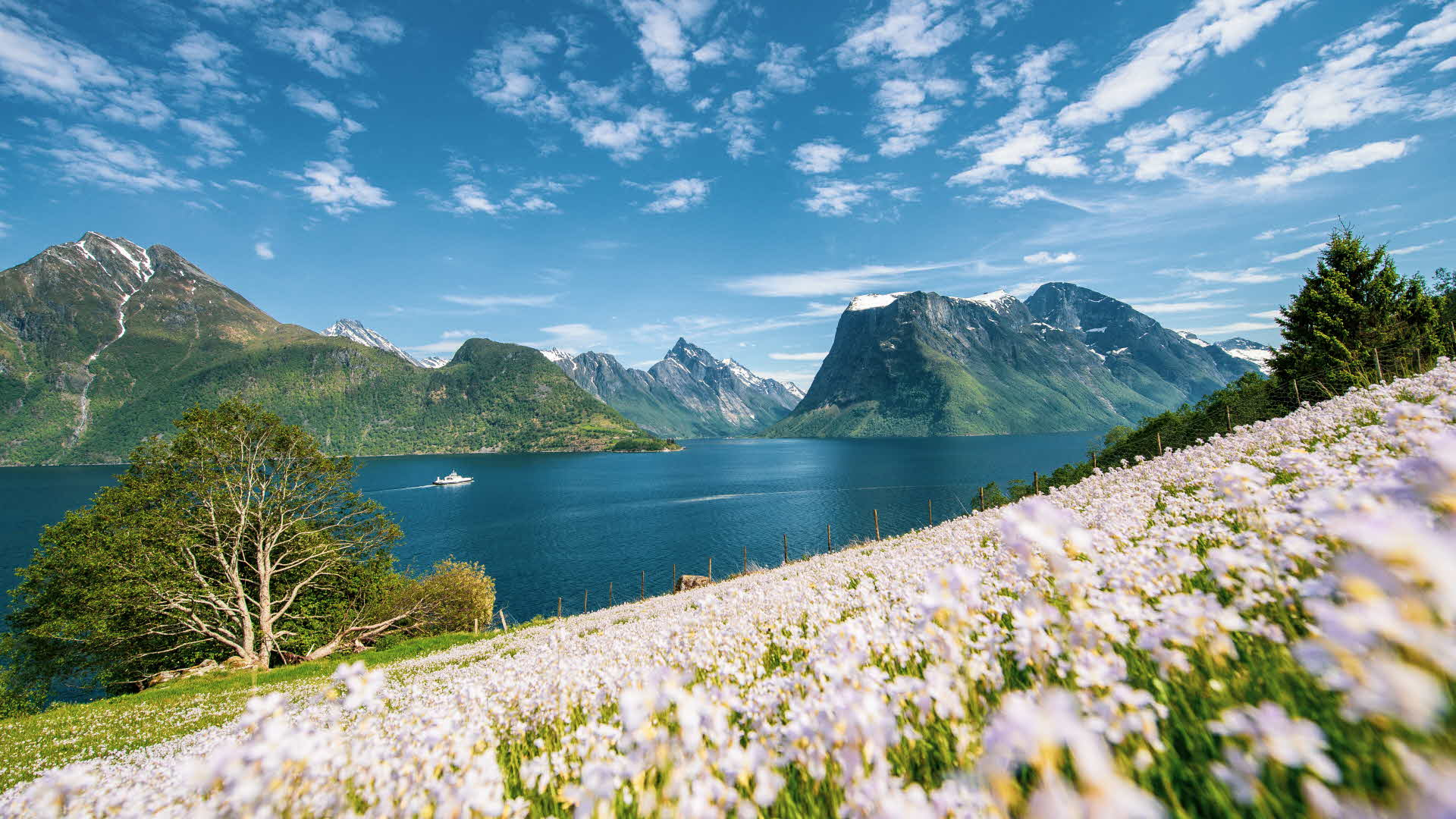 A boat sailing the Hjørundfjord, with a flowery meadow in the foreground and the Sunnmørsalpene range behind