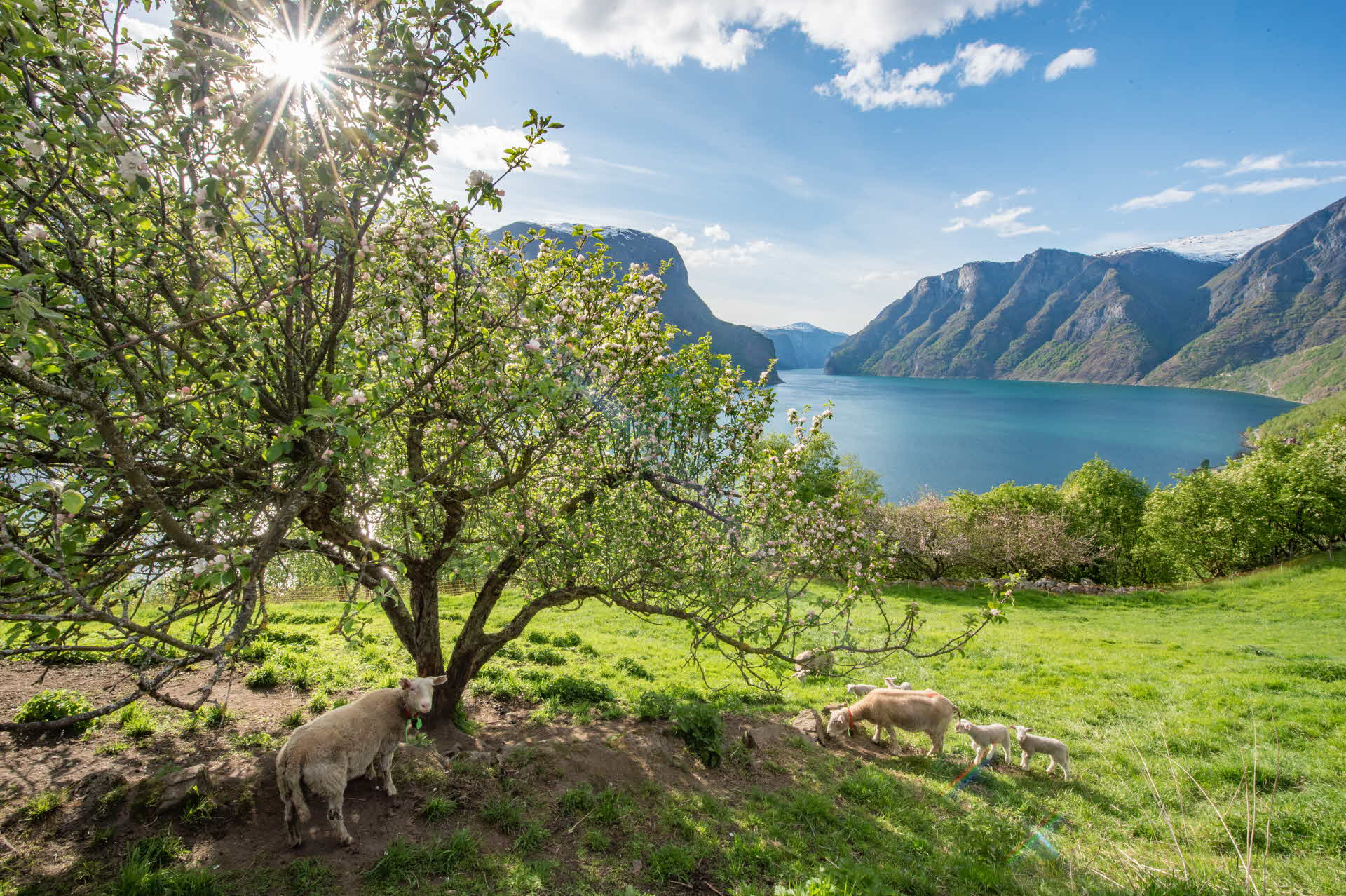 The Aurlandsfjord with apple trees and sheep at the front