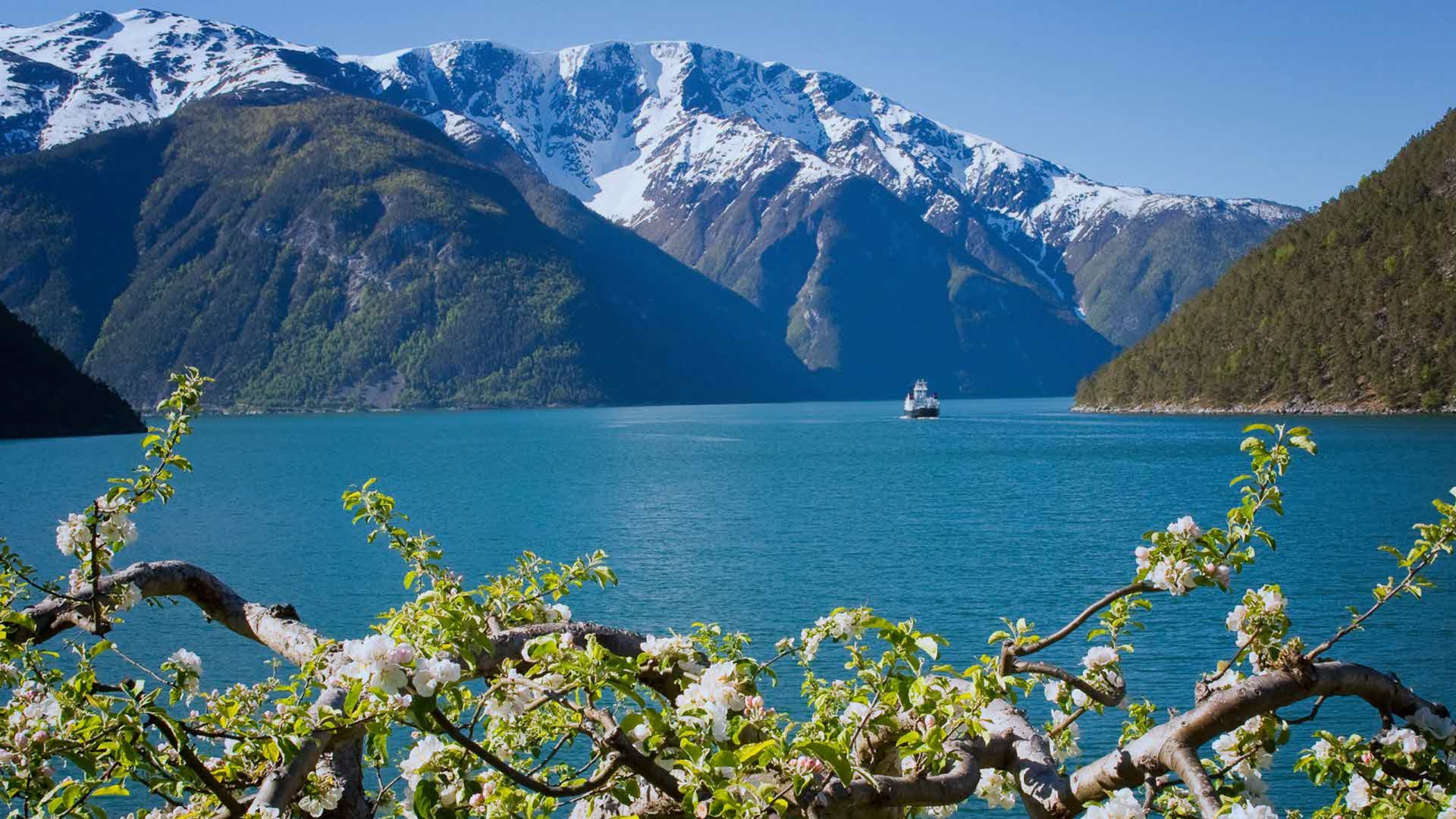 A ferry sails through the Sognefjord in spring, with snow-capped peaks and flowering fruit trees in the foreground.