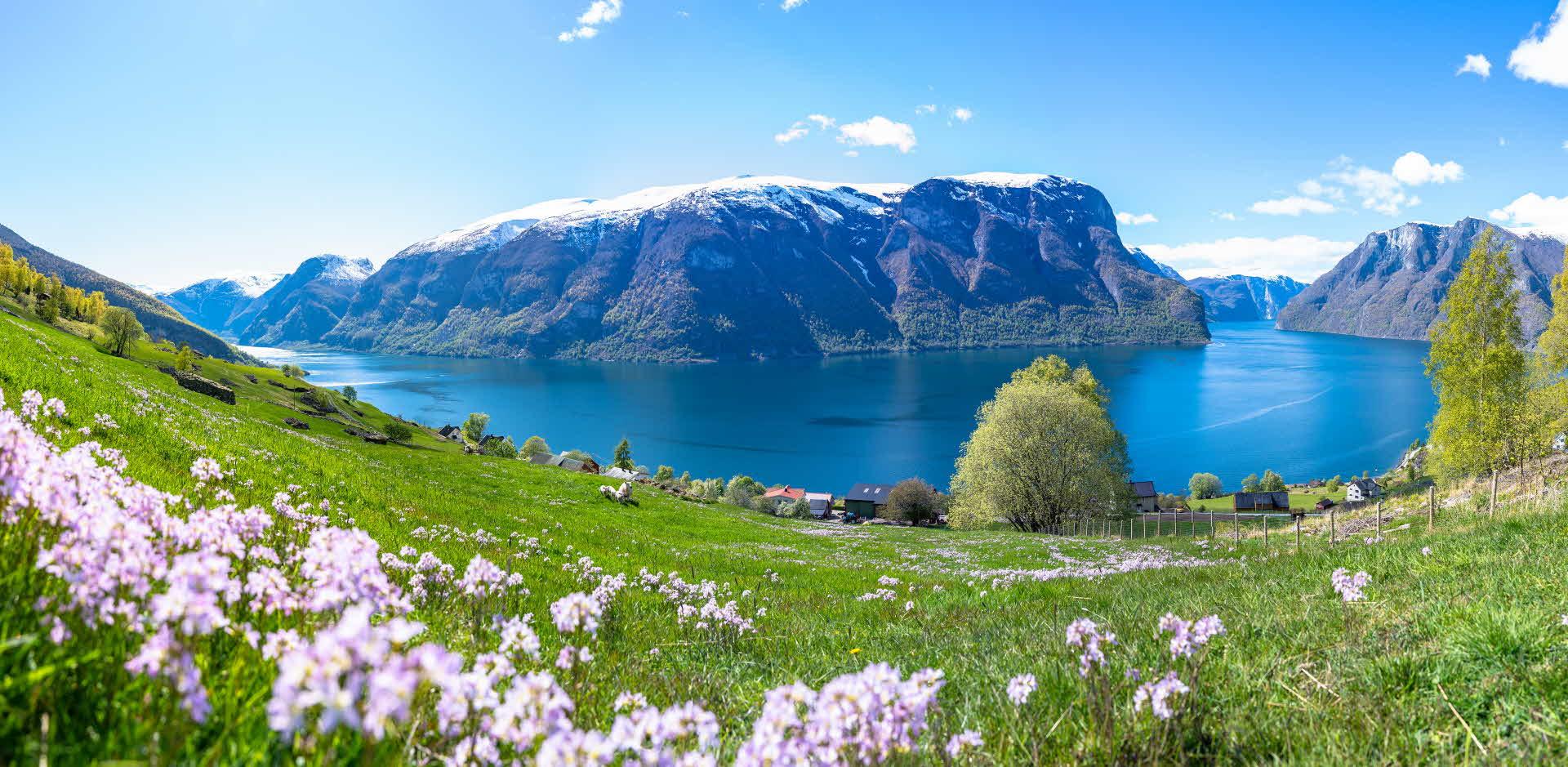 Panorama av grønne og blomstrende gårdsenger med sauer i Aurland med utsikt over UNESCOs verneverdige Aurlandsfjord i Norge
